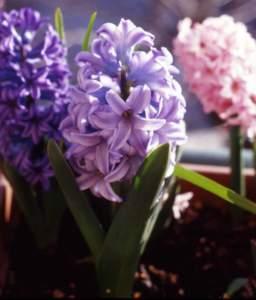 giacinto bulbi natale