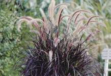 graminacee inverno pennisetum rubrum