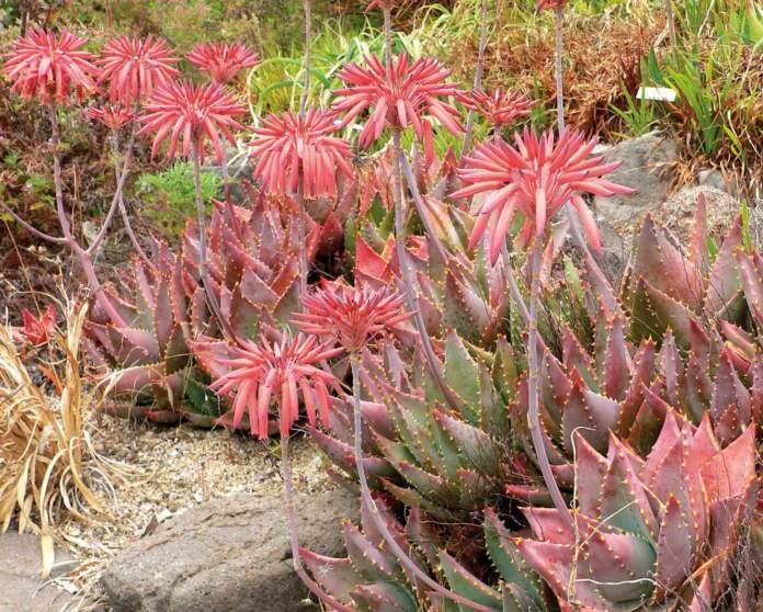 piante grasse inverno aloe mitriformis
