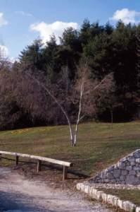 neve piante betulla