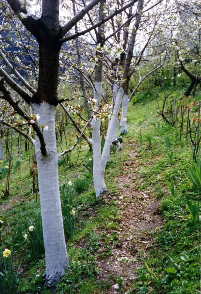 frutteto malattie parassiti calce tronchi