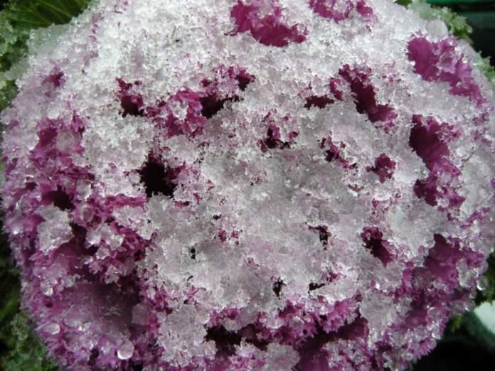 neve piante cavolo ornamentale