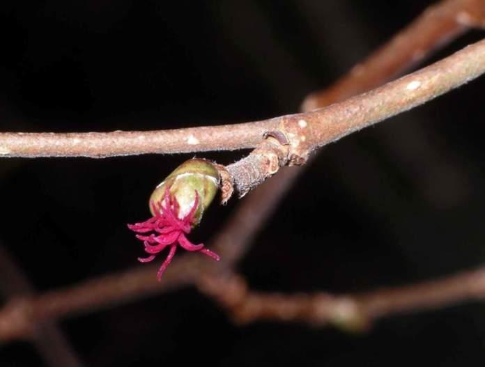 piante maschio femmina nocciolo fiore femminile