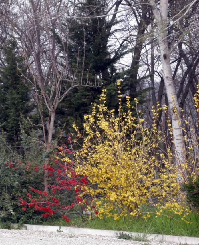 forsizia cotogno giapponese fiori