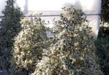 agrifoglio variegato