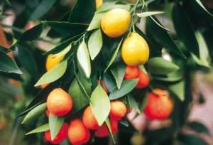 natale balcone kumquat frutti
