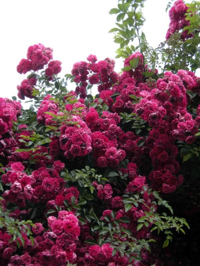 rosai fiori