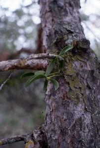 vischio su albero pino