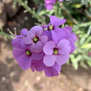 Erysimum_linifolium_Bowles_Mauve