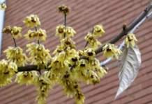 calicanto inverno fiori