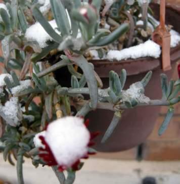 lavori giardino gennaio delosperma neve