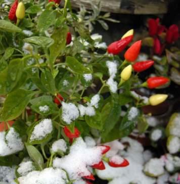 lavori terrazzo gennaio peperoncino neve