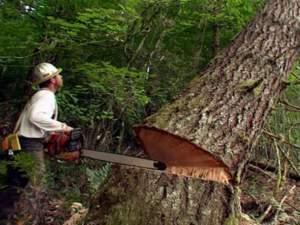 taglio_tronco_abbattimento legna