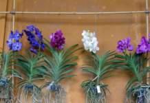 orchidee substrato vanda