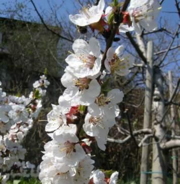 calendario lunare marzo albicocco fiori