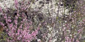 orto in primavera pesco fiori