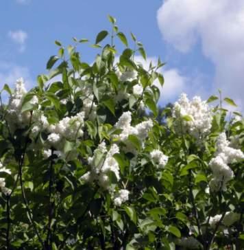calendario lunare aprile lillà bianco