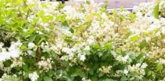 calendario lunare maggio ligustrum ovalifolium fiori