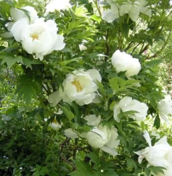 lavori da fare in giardino in maggio peonia bianca