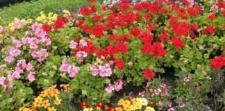 giardino mare giugno gerani tageti