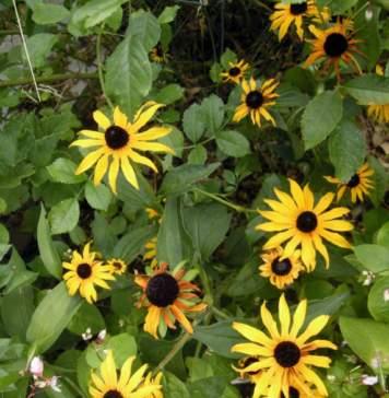 lavori giardino rudbeckia