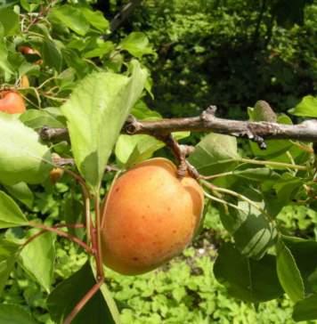 calendario lunare agosto albicocca albero