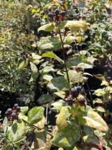 iperico hypericum hircinum frutti