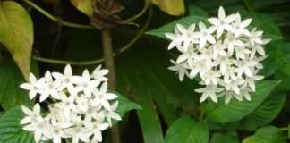 pentas fiori bianchi