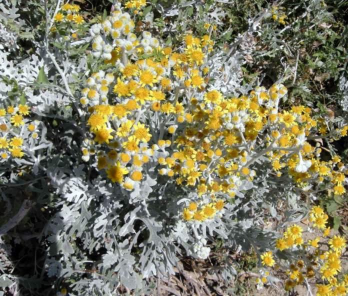 scale muri cineraria maritima fiori gialli