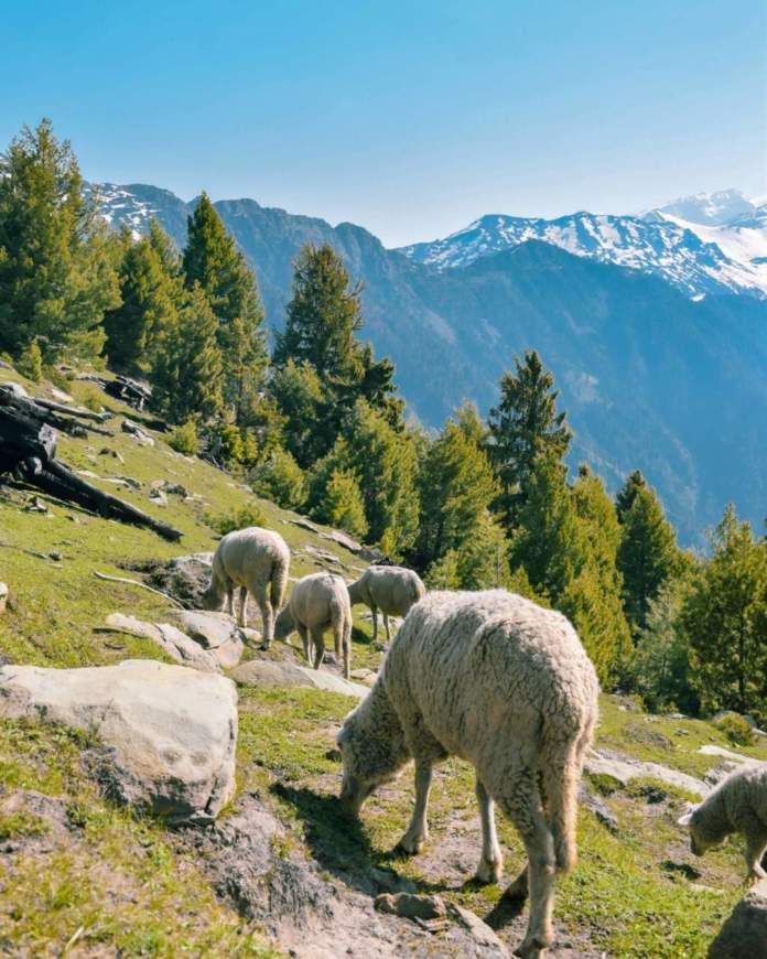 passeggiata montagna gregge pecore