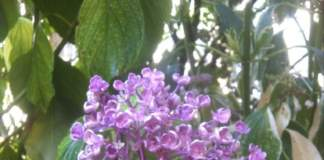 ortensie hydrangea serrata