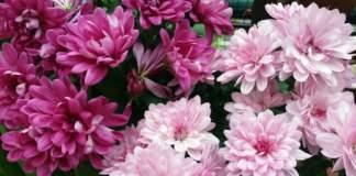 lavori terrazzo ottobre crisantemi rosa