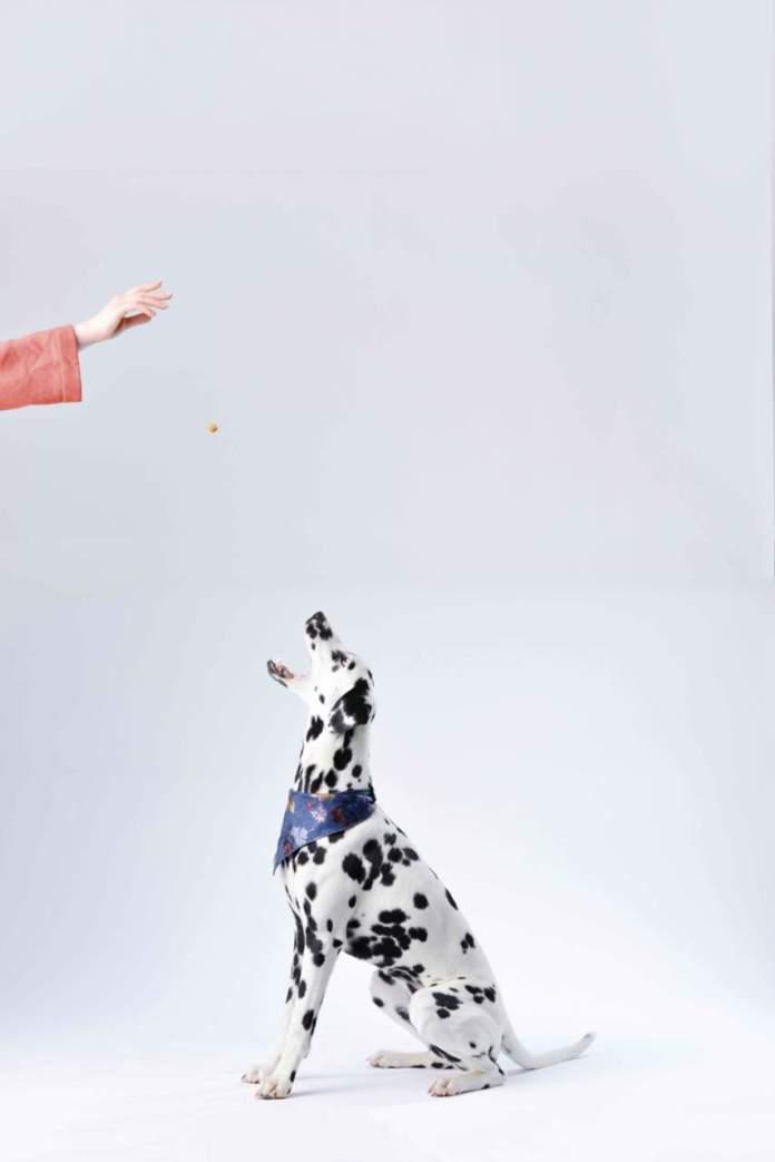 cane dalmata premietto