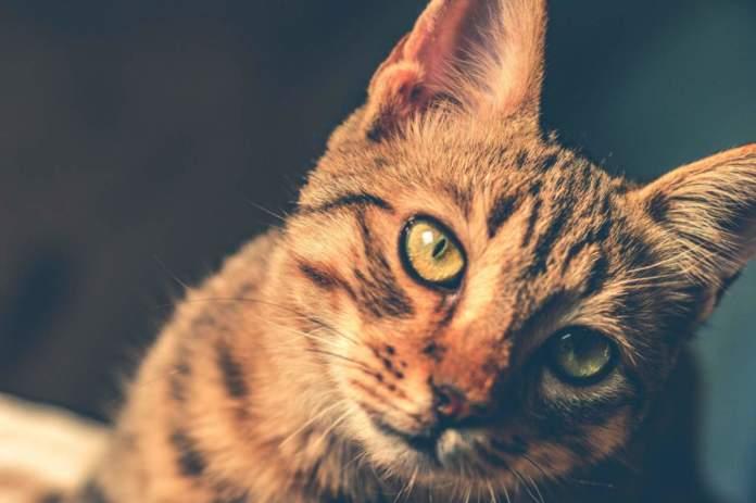 gatto sabbietta