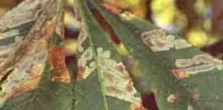 ippocastano foglie cameraria minatrice